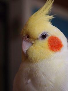 Very healthy looking cockatiel