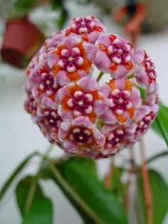 Tropical hoya.  Great plant.