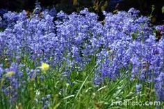 blue bells, picture