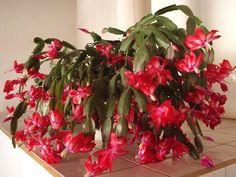 Plants, Crescendo, Blog, Succulents Garden, White Swimsuit, Names Of Flowers, Planting Flowers, Permaculture, Xmas