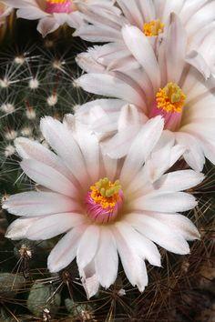 Cactus Mammillaria zephyranthoides