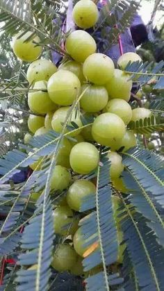 Gooseberry Tree with fruit from Kerala Fruit Tree Garden, Veg Garden, Fruit Plants, Edible Garden, Fruit Trees, Different Fruits And Vegetables, Kinds Of Fruits, Fruit And Veg, Fruit Fruit