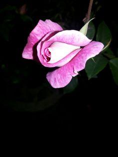 Ice Berg Rose