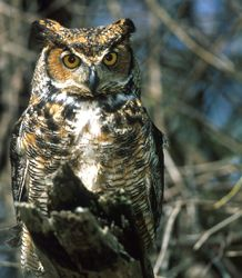 """Great Horned Owl - Bubo virginianus  The great horned owl is the largest of Ohio's resident owls and the largest """"eared"""" owl in North America. Once abundant in the state, great horned owl numbers have declined with the development of Ohio. This owl will eat a tremendous variety of animals and is a talented hunter; these attributes have allowed it to adapt to nearly all habitat types where there are suitable nest sites. #wildohio #ohiobirds"""