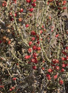 ... plant that I became particularly fond of is the desert Christmas Great looking desert plants