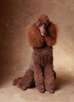 .Standard Poodle #Puppy #Dogs