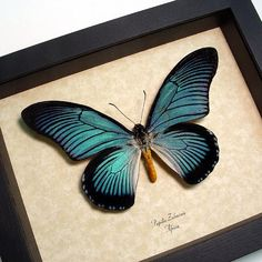 Real Framed - Papilio zalmoxis - Bold Blue Birdwing Butterfly From Africa 582