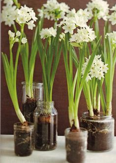 Force paper whites to bloom in 9 easy steps crafts december advent growing paperwhites they smell divine in the winter earthy beauty and then there are narcissuslightfulny of us are cold and all leaves have mightylinksfo