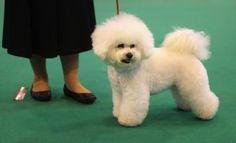 Bichon Frise at dog show
