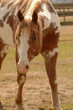 Silvun Horse Breeds -- Eqe Fordis -- Risfervaen: Paint and Pinto. All The Pretty Horses, Beautiful Horses, Animals Beautiful, Cute Animals, Hello Beautiful, American Paint Horse, Zebras, Cheval Pie, Wild Horses