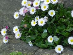 English Daisy Information: Caring For English Daisies In The Garden