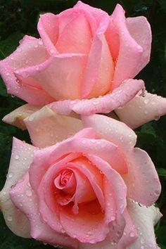Pink Rose                                                                                                                                                                                 Más