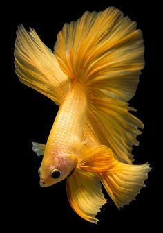 Some interesting betta fish facts. Betta fish are small fresh water fish that are part of the Osphronemidae family. Betta fish come in about 65 species too! Koi Fish Colors, Colorful Fish, Tropical Fish, Pretty Fish, Beautiful Fish, Animals Beautiful, Freshwater Aquarium, Aquarium Fish, Betta Fish Types