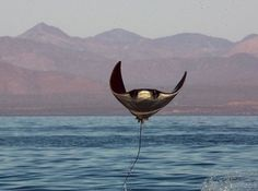 A mobula ray leaps out of the water in the Sea of Cortez....