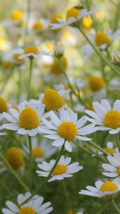 a field of pretty daisies love simple flowers