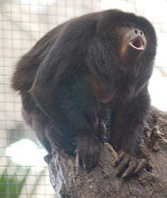 El mono carayá negro y dorado, manechi, carayá negro, gran alute meridional, mono aullador negro y dorado o mono araguato (Alouatta caraya), es una especie de primate platirrino,2 es la especie más austral de todos los monos del Nuevo Mundo y habita en el centro de América del Su
