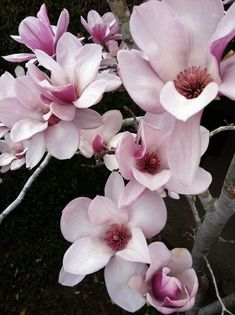 My Japanese Magnolia.  Love!