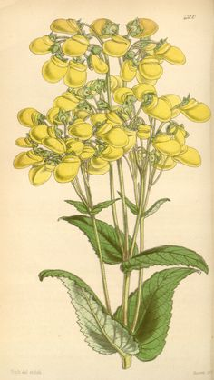 plate 4300  Calceolaria amplexicaulis  Clasping-leaved Calceolaria, or Slipper-wort