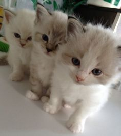 The Three Cutenessteers @ Rockarags Cattery