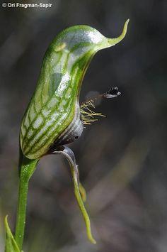 Pterostylis barbata