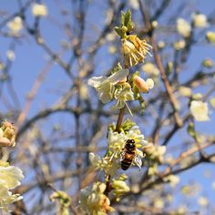 The Bees Return  Hurray for sunshine and the return of the bees!  I took my camera into the garden and one of the bushes (brownie points for anyone who can tell me what it is I have no idea) was alive and buzzing. It makes me happy. . . . .  #beautifulandeccentric  #bees # #beelover #beelovers #springtimejoy #thejoysofspring #communityovercompetition  #naturescaptures #botanicalforagersunitedsociety #springblooms