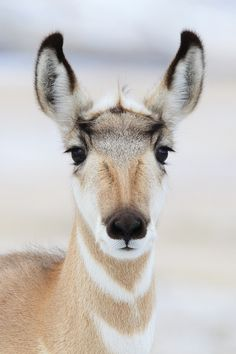 **Pronghorn Doe