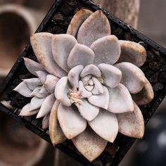 Echeveria 'Beverley' 贝弗利 2019-08-03 #succulents #多肉植物 #echeveria #拟石莲属 #多肉 #echeveriabeverly