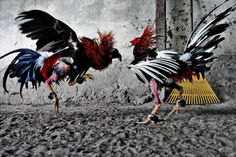 Make Cockfighting a Felony in All 50 States PETITION - Care2 News Network