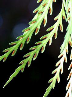 Elongate: Long and narrow or slender.  Elongate i'long-gayt adj.  (L. elongare: to lengthen)  Long and narrow or slender.      Asplenium flaccidum    drooping spleenwort  Aspleniaceae  May    The sori are in elongated clusters and run down the inner margin of the pinna.