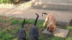 Bloodhound puppies (Time to come out and play) - YouTube #bloodhound puppies