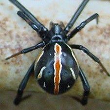 Black Widow Spider Image: Dionysia