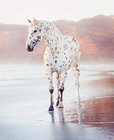 Cute Horses, Pretty Horses, Horse Love, Horse Girl, Dressage Horses, Appaloosa Horses, Leopard Appaloosa, Most Beautiful Horses, Animals Beautiful