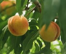 Peach Tree Care