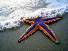 Magnificent Starfish