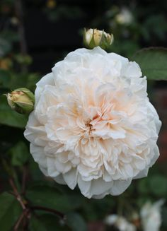 Rosa 'Sombreuil', wish I still had it Beautiful Bouquet Of Flowers, Exotic Flowers, Love Flowers, Beautiful Roses, White Flowers, Heritage Rose, Variegated Plants, White Plants, Nature