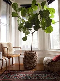 Fiddle leaf fig, you taunt me... where can I find you?