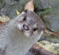 Hi human! Hey, what's that thing? - November 11, 2014 - More at today's Daily Otter post: http://dailyotter.org/2014/11/11/hi-human-hey-whats-that-thing/ !
