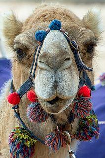 Camel - Monkey Mia - Western Australia   por moronif