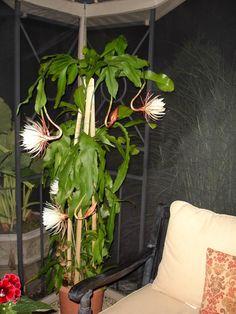 Night Blooming Cereus care - Arizona Queen of the night ... |Night Blooming Cereus Cactus Care