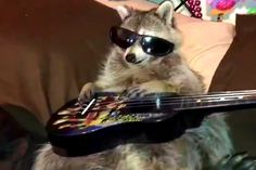 Rock star raccoon