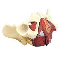 "Female pelvic floor. Superficial muscles ""close"" deeper muscles ""lift"""