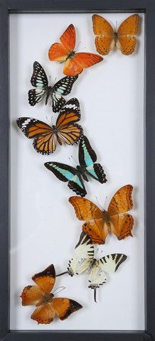 This hand-made double glass 'see through' frame, consists of real, taxidermy dried farm bred butterflies, which have been mounted onto glass.
