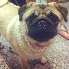 Keep your pug in pearls