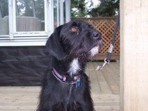 Gabby is an adoptable German Wirehaired Pointer Dog in West Vancouver BC. Gabby is a beautiful black German Wirehaired Pointer about 6 to 8 years old. She is possibly a mix perhaps she has some Blac Pointer Puppies, Pointer Dog, Dog Lover Gifts, Dog Lovers, German Wirehaired Pointer, Labrador Retriever Mix, Pet Adoption, Animal Adoption, Animal Shelter