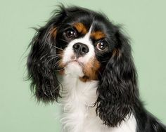 cavalier king charles spaniel are known as love sponges. Very affectionate and loving. they are beautiful. who couldn't love a dog like this.