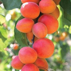 Rec by G Questiontime - best for Uk and very tasty Apricot 'Flavourcot'®