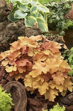 Heuchera, Caramel. Love this color for mixing with ferns and hosta  n a shady garden! Would look great summer into fall!! On my wish list!!