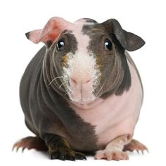 Skinny pigs have hair on the ends of their noses and their feet, but are hairless everywhere else.