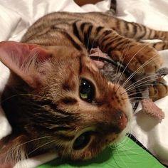 Pippa the Toyger I Love The Beach, Man In Love, Toyger Kitten, Bengal, Funny Cute, Kitty Kitty, Animals, Random, Animales