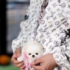 Teacup Pomeranian, Teacup Puppies, All The Colors, Teddy Bear, Colours, Animals, Animales, Animaux, Teddy Bears